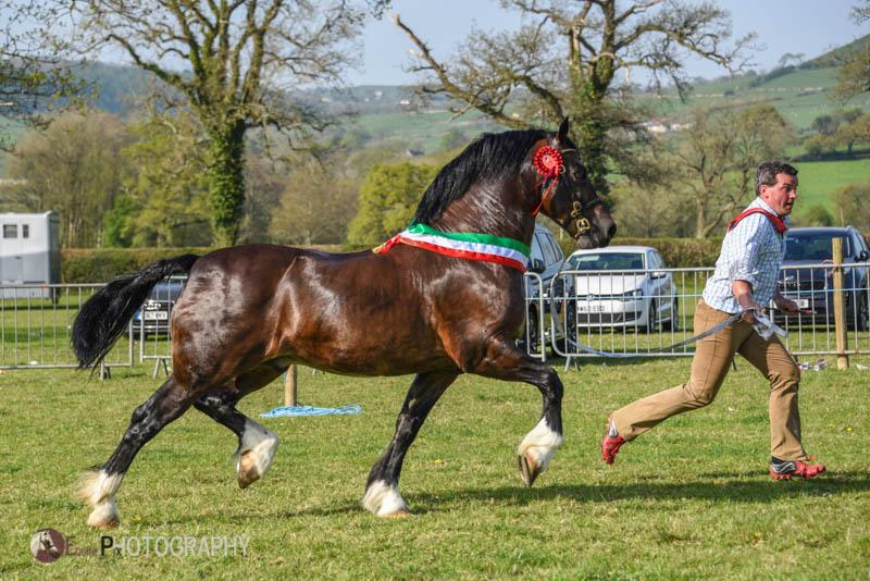 GWYNFAES SEREN WLEDIG- Section D champion & overall in hand champion
